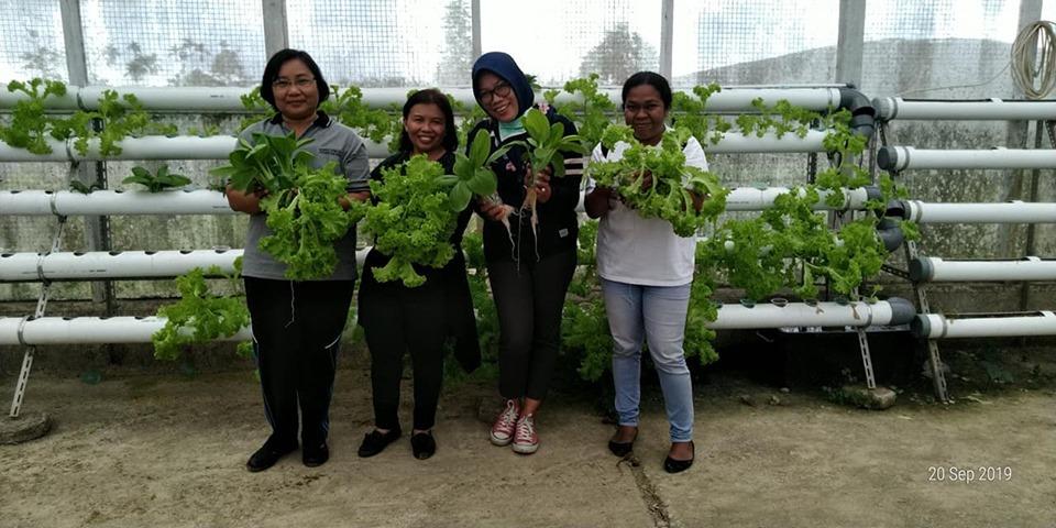 Yeyyyy panen sayur selada dan sawi pakcoy di UPTD BBU Dinas Tanaman Pangan, Hortikultura dan Perkebunan Mimika.